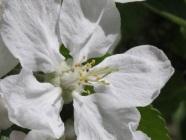Omenan siemenkotamätä